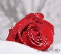 Kaip paruošti rožes žiemai